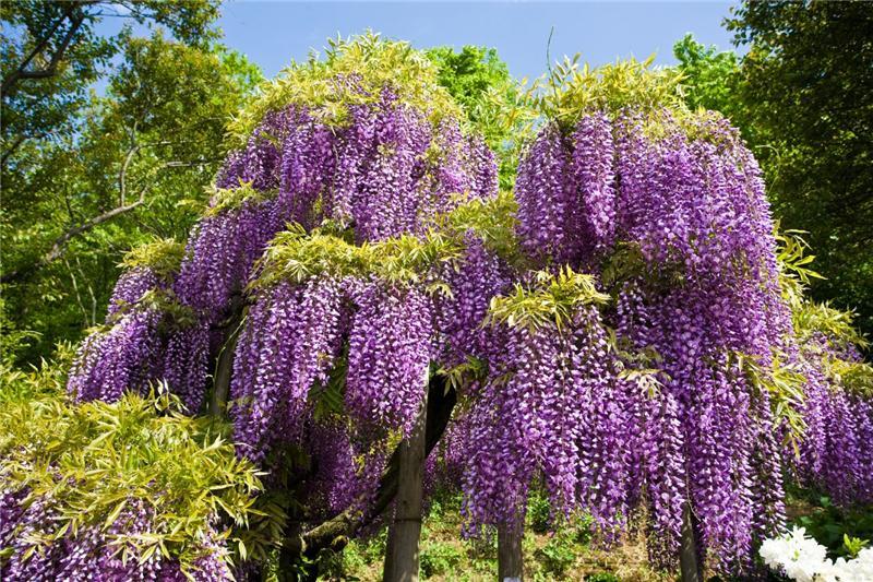 В Лондоне вовсю цветут каштаны, катальпы и глицинии. . А у Вас?. . Обсуждение на LiveInternet - Российский Сервис Онлайн-Дневник