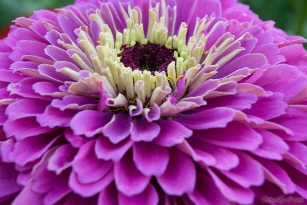 Циннии - Энциклопедия садовых растений