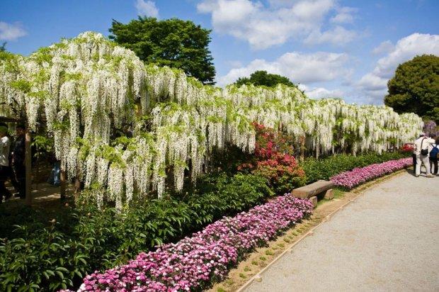 Wisteria энциклопедия садовых растений