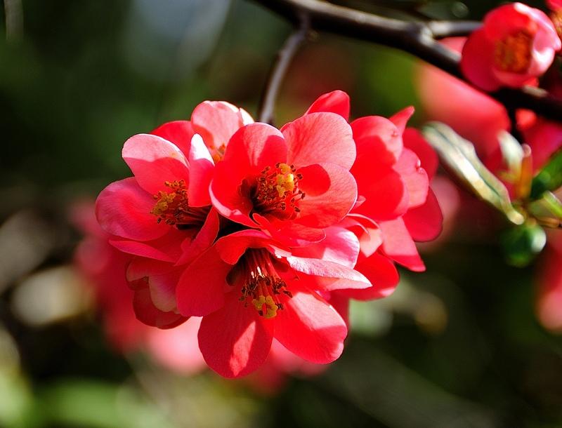 Хеномелес (Айва японская) - Энциклопедия садовых растений