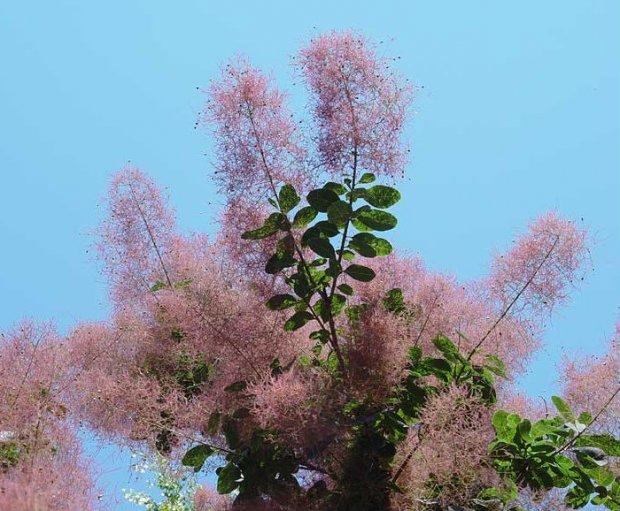 Скумпия - Энциклопедия садовых растений
