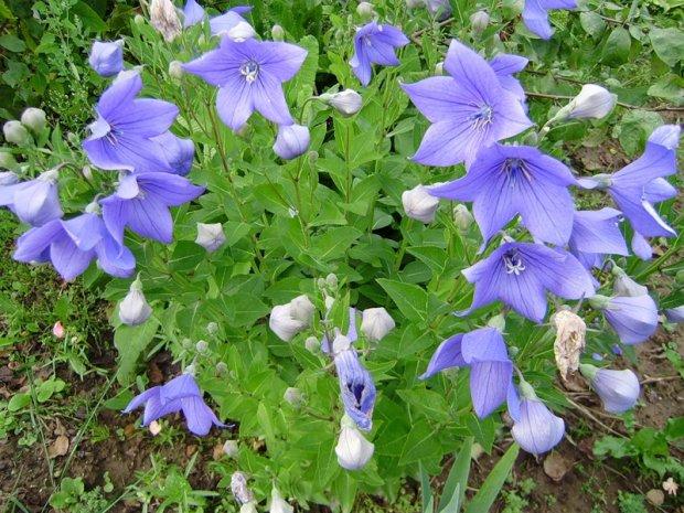 Платикодон - Энциклопедия садовых растений