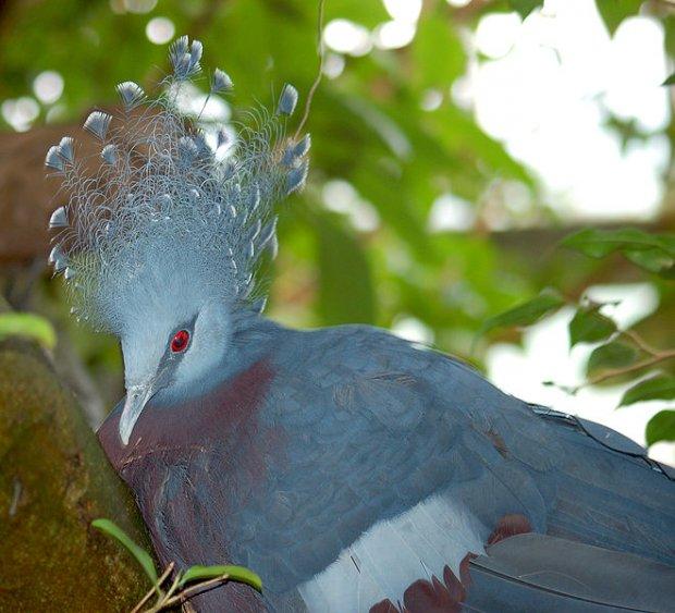 Венценосный голубь