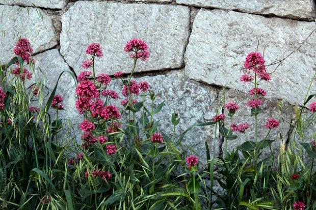 Кентрантус (Валериана) - Энциклопедия садовых растений