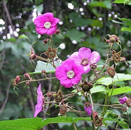 Малина душистая (малиноклен) - Энциклопедия садовых растений
