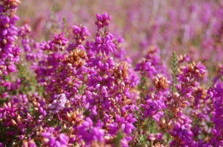Вереск - Энциклопедия садовых растений