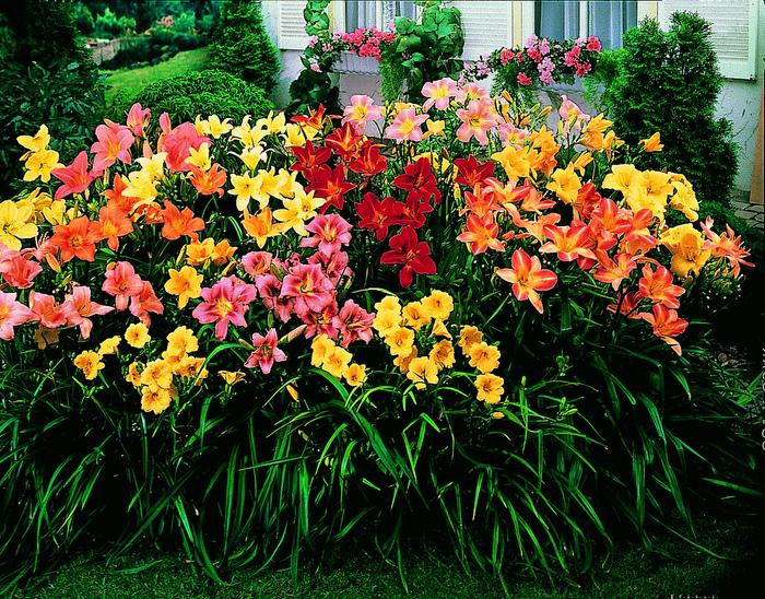 Лилейник садовые цветы 87