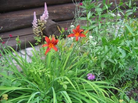 Лилейник (Красоднев) - Энциклопедия садовых растений