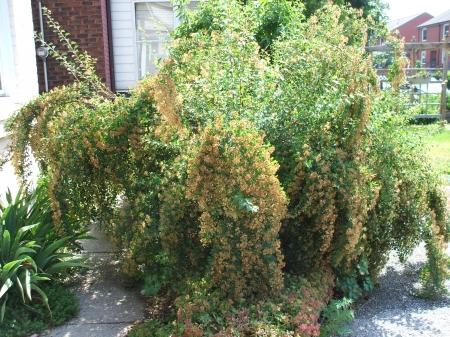 Спирея - Энциклопедия садовых растений