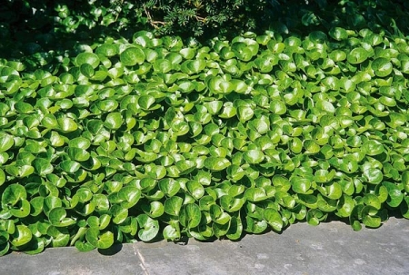 Копытень (Азарум) - Энциклопедия садовых растений
