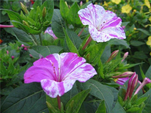 Цветок день и ночь садовый