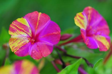 Мирабилис - Энциклопедия садовых растений