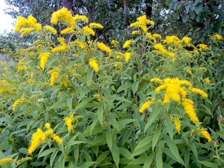 Золотарник, солидаго (Solidago) - Энциклопедия садовых растений