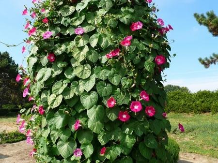 Ипомея (Фарбитис) - Энциклопедия садовых растений