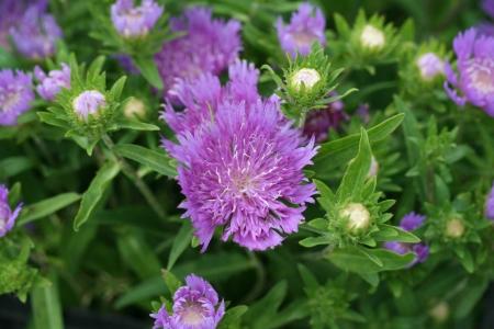 Стокезия - Энциклопедия садовых растений