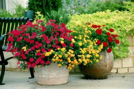 Лантана - Энциклопедия садовых растений