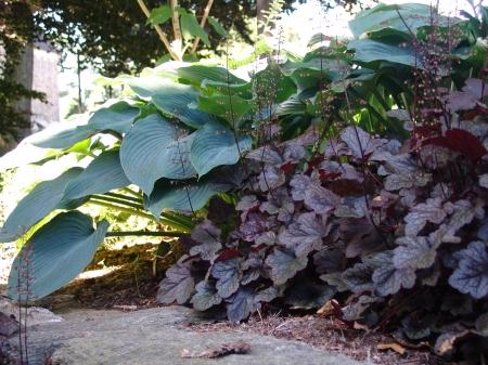 Гейхера (Heuchera) - Энциклопедия садовых растений