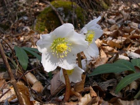 Морозник (Helleborus) - Энциклопедия садовых растений