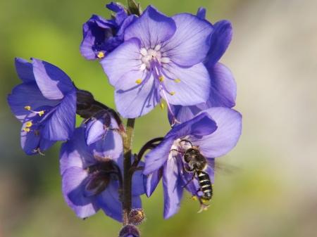 Синюха - Энциклопедия садовых растений