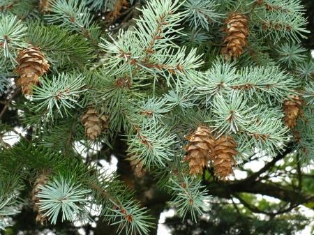 Лжетсуга (Псевдотсуга) Pseudotsuga - Энциклопедия садовых растений