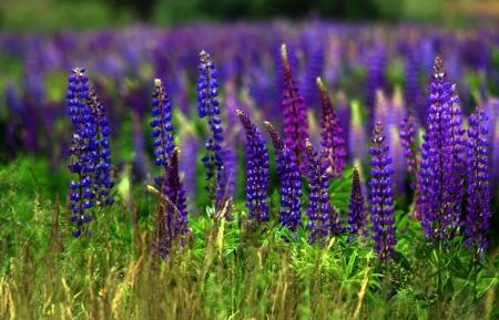 Люпины - Энциклопедия садовых растений